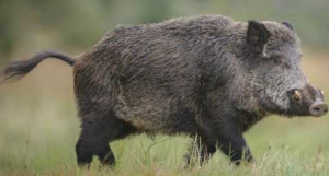 Ontario continues fight against invasive wild pigs