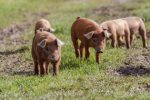 Early detection of sick pigs in organic systems