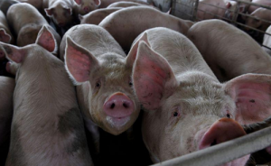 North America's hog farmers face prolonged pain as pandemic gives way to glut