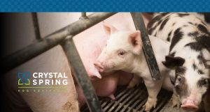 How to Maintain a Sow's Condition During Lactation
