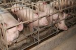 What A Delay On Canada's Gestation Crate Ban Will Mean For Pig Welfare
